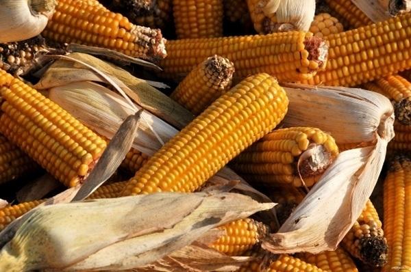 Тамбовские сельхозпроизводители убирают кукурузу