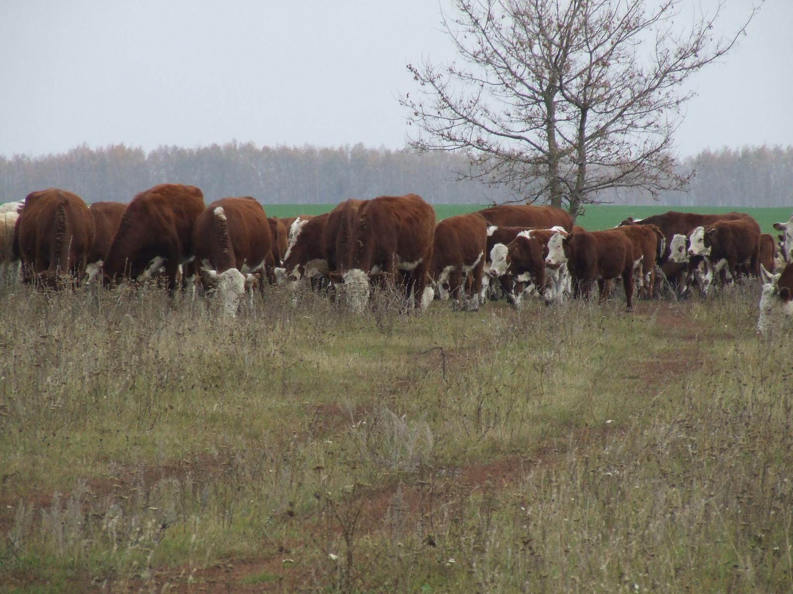 Тамбовские фермеры выводят новые породы скота
