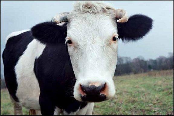 Сотрудники полиции рассказали, как избежать кражи скота