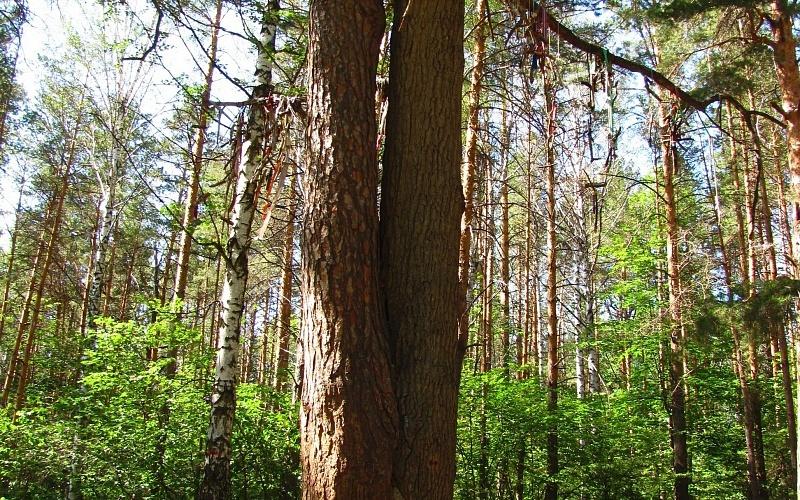 В Тамбовской области обследуют дерево любви
