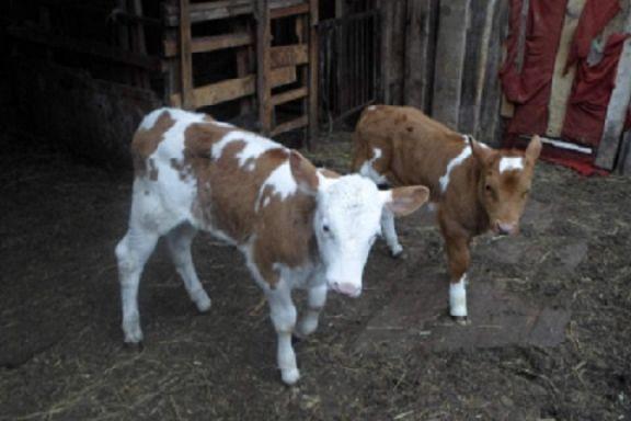 В Тамбовской области из фермерского хозяйства похищали телят