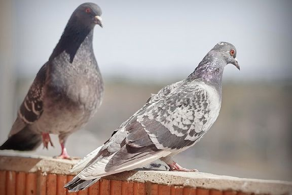 Тамбовчанка столкнулась с проблемами из-за живущих на техническом этаже дома голубей