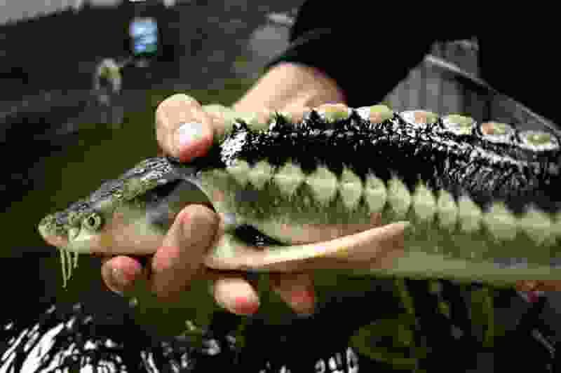 В Тамбовской области собираются нарастить производство рыбы до 400 тонн в год
