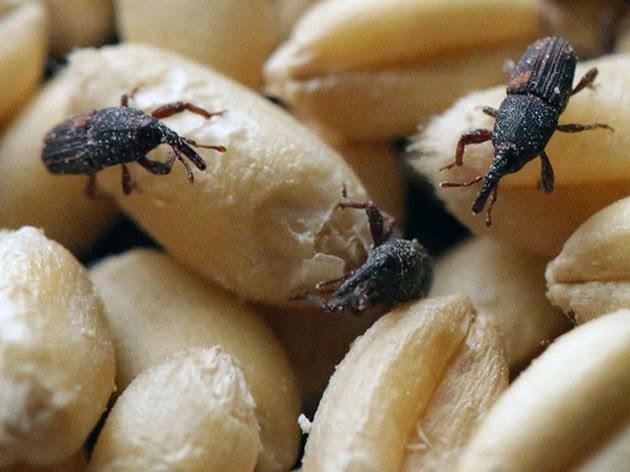 Рисовый долгоносик атакует тамбовское зерно