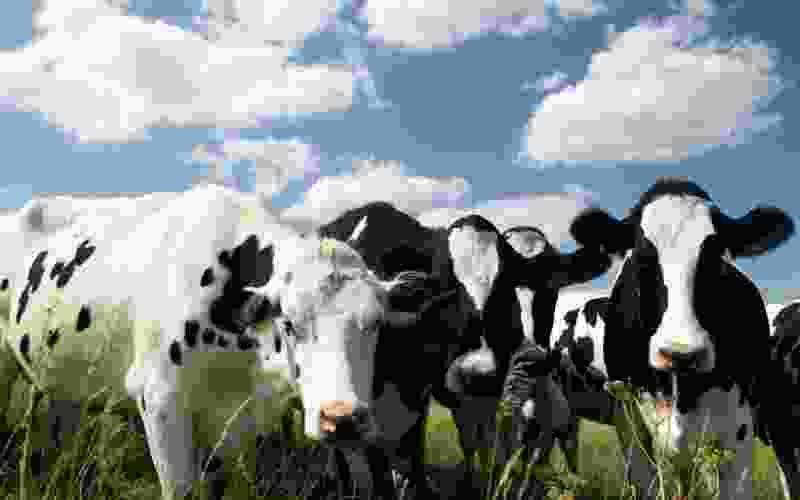 Тамбовские коровы стали давать больше молока