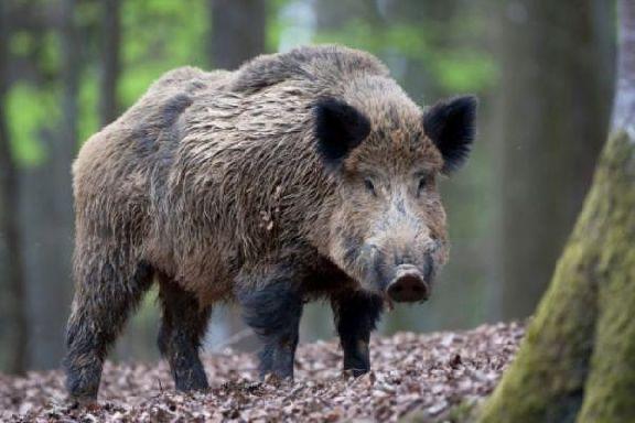 Из-за угрозы АЧС в Тамбовской области разрешили отстрел диких кабанов