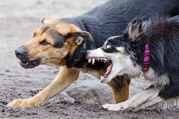 Лиса и собака стали причиной карантина по бешенству в Тамбовской области