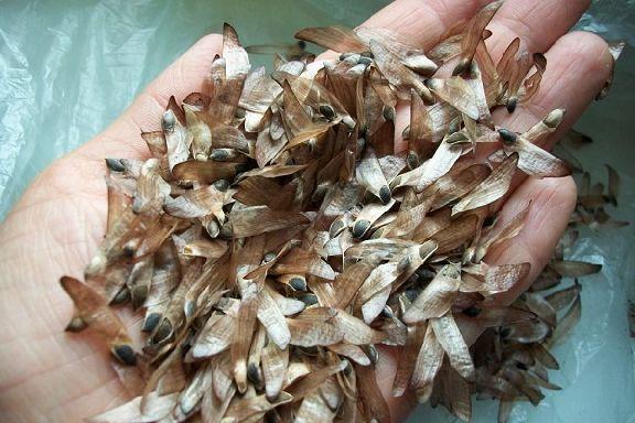 В этом году тамбовские лесоводы планируют заготовить 4,5 тонны семян лесных растений
