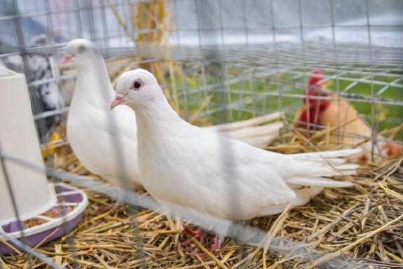 В Тамбовской области пройдёт выставка голубей редких пород