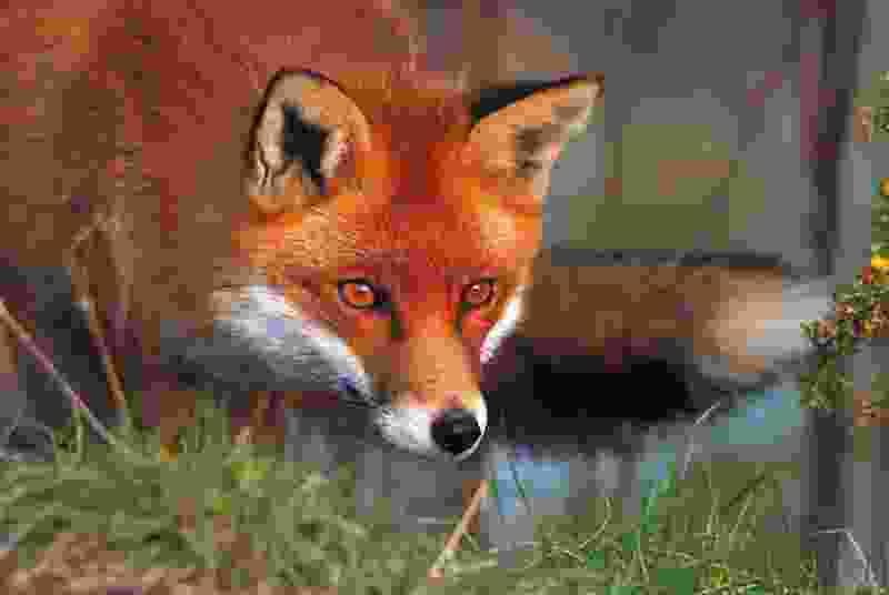 В Рассказовском районе Тамбовской области из-за бешеной лисицы объявили карантин