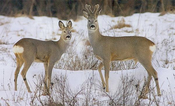 В Ржаксинском районе браконьер застрелил двух молодых косуль: он пойман с поличным