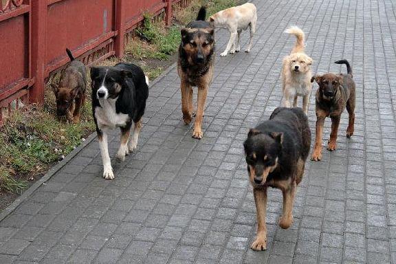 Жители Мичуринска жалуются на стаи бездомных собак