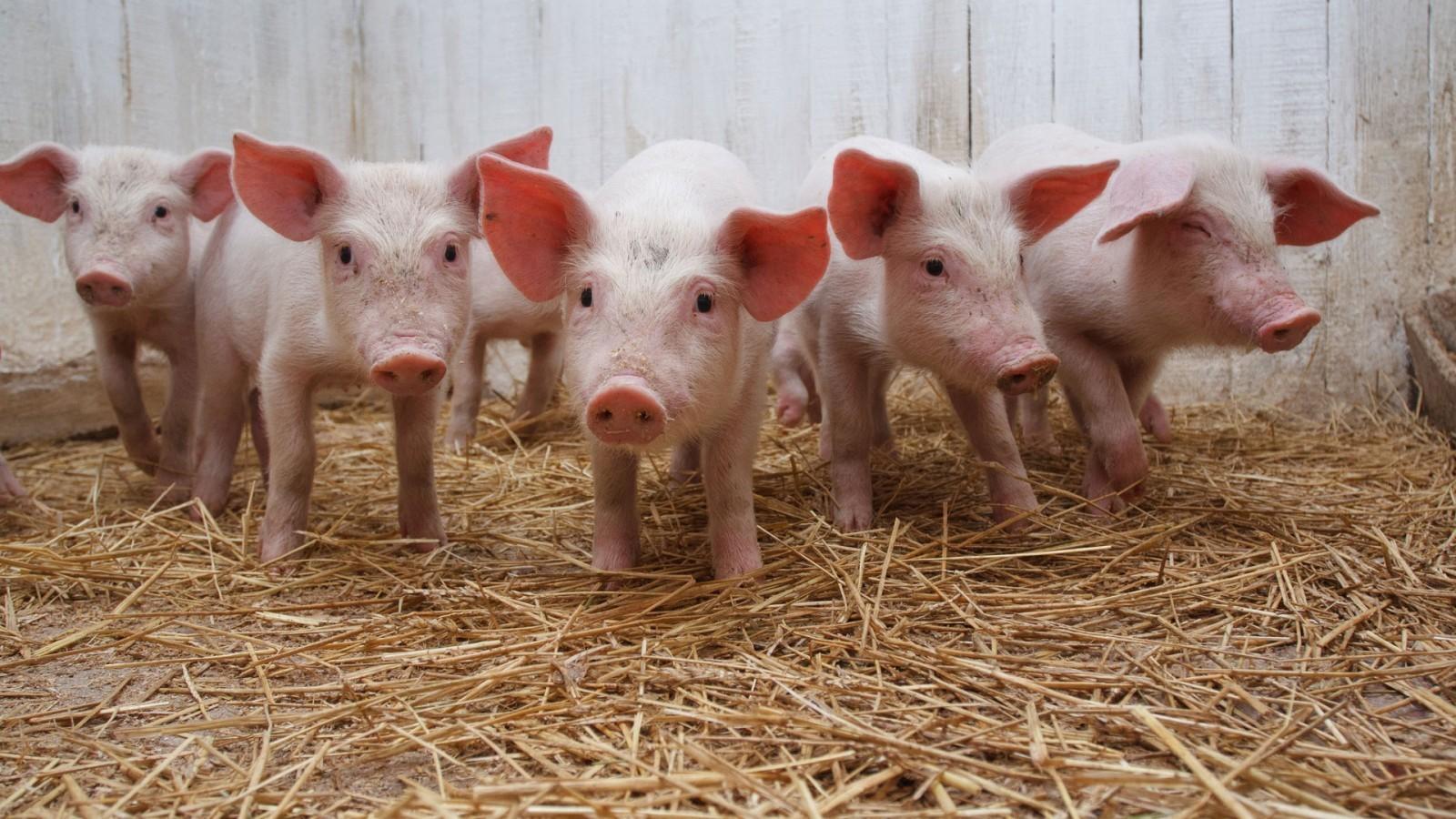 Тамбовщина отмечена в числе шести регионов, обеспечивших рост производства продукции свиноводства в стране