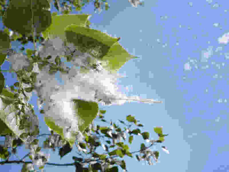 Тополиный пух, жара… Как защититься от аллергии