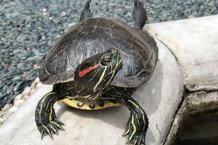 ВКрасненском карьере Тамбова завелись черепахи