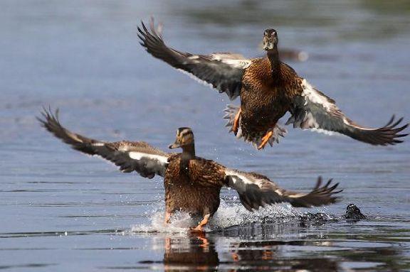 В Тамбовской области стартует сезон охоты на пернатую дичь
