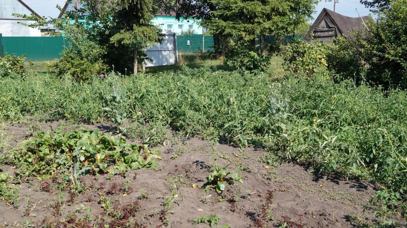 В Тамбовской области женщина на собственном огороде вырастила плантацию опиумного мака