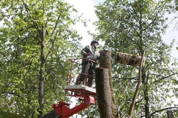 Городские власти обратили внимание на аварийные деревья в Тамбове