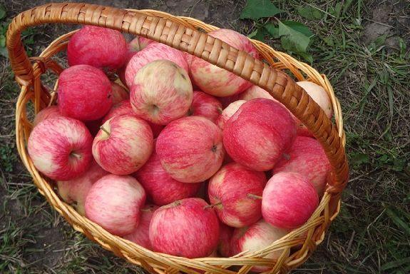 В Тамбовской области начался сбор ранних сортов яблок