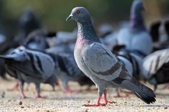 Жители Мичуринска недовольны обилием голубей в городе