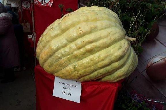 На фермерском рынке Покровской ярмарки показали чудо-тыкву на 280 килограммов