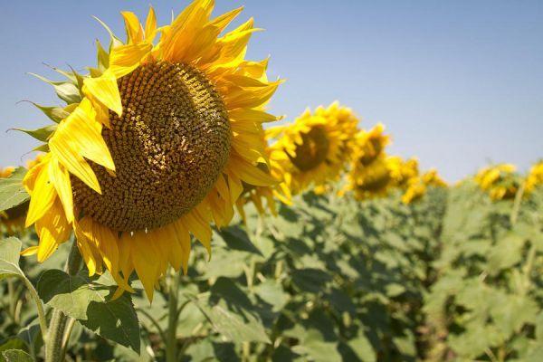 Тамбовские аграрии собрали рекордный урожай подсолнечника