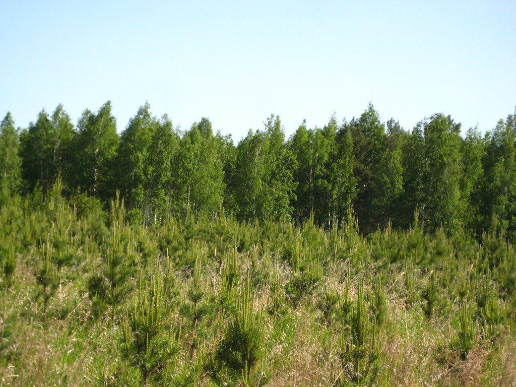 Тамбовские лесоводы в этом году вырастили почти 8 миллионов саженцев сосны и дуба