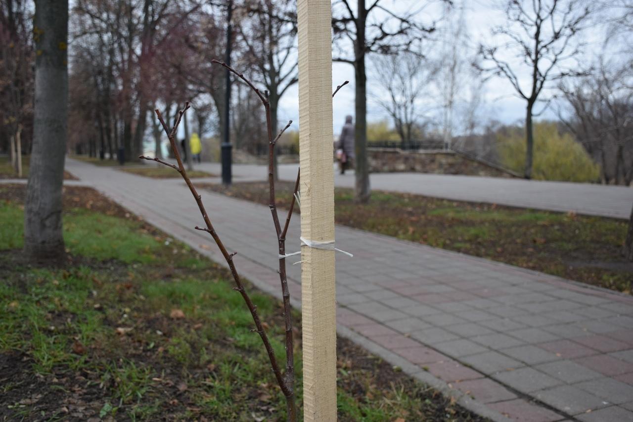 В Тамбове увеличилось число деревьев