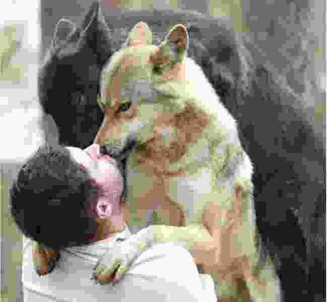 Волк, пойманный в Сатинке, отправится в Екатеринбург