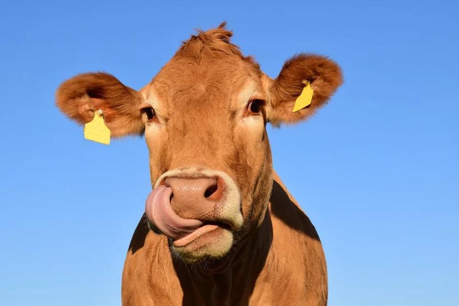 Под Тамбовом выявлена очередная вспышка бруцеллёза у коров