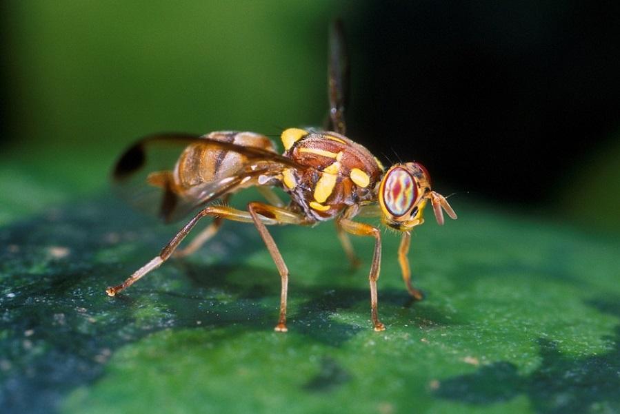 Тамбовская область находится под угрозой проникновения африканской дынной мухи
