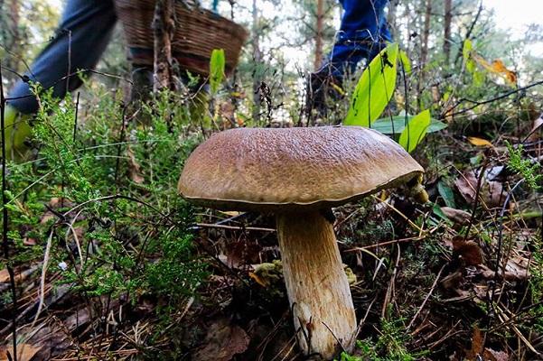 В МЧС назвали самые опасные места в лесу для грибников