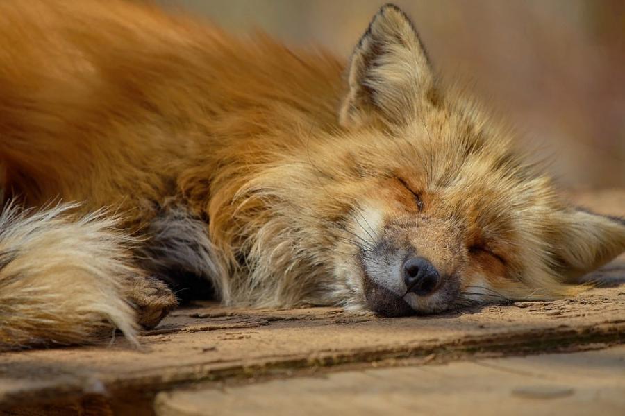 В Тамбовской области обнаружена больная бешенством лисица