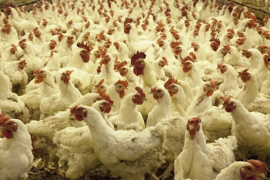 Назначены публичные слушания по оценке воздействия на экологию новых цехов птицефабрики