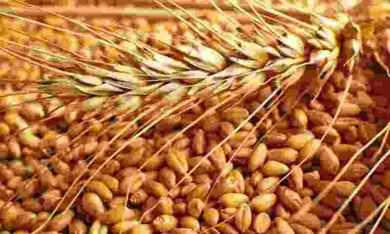 Сельхозфирма Котовска выпустила больше 600 тонн зараженной вредителями пшеницы