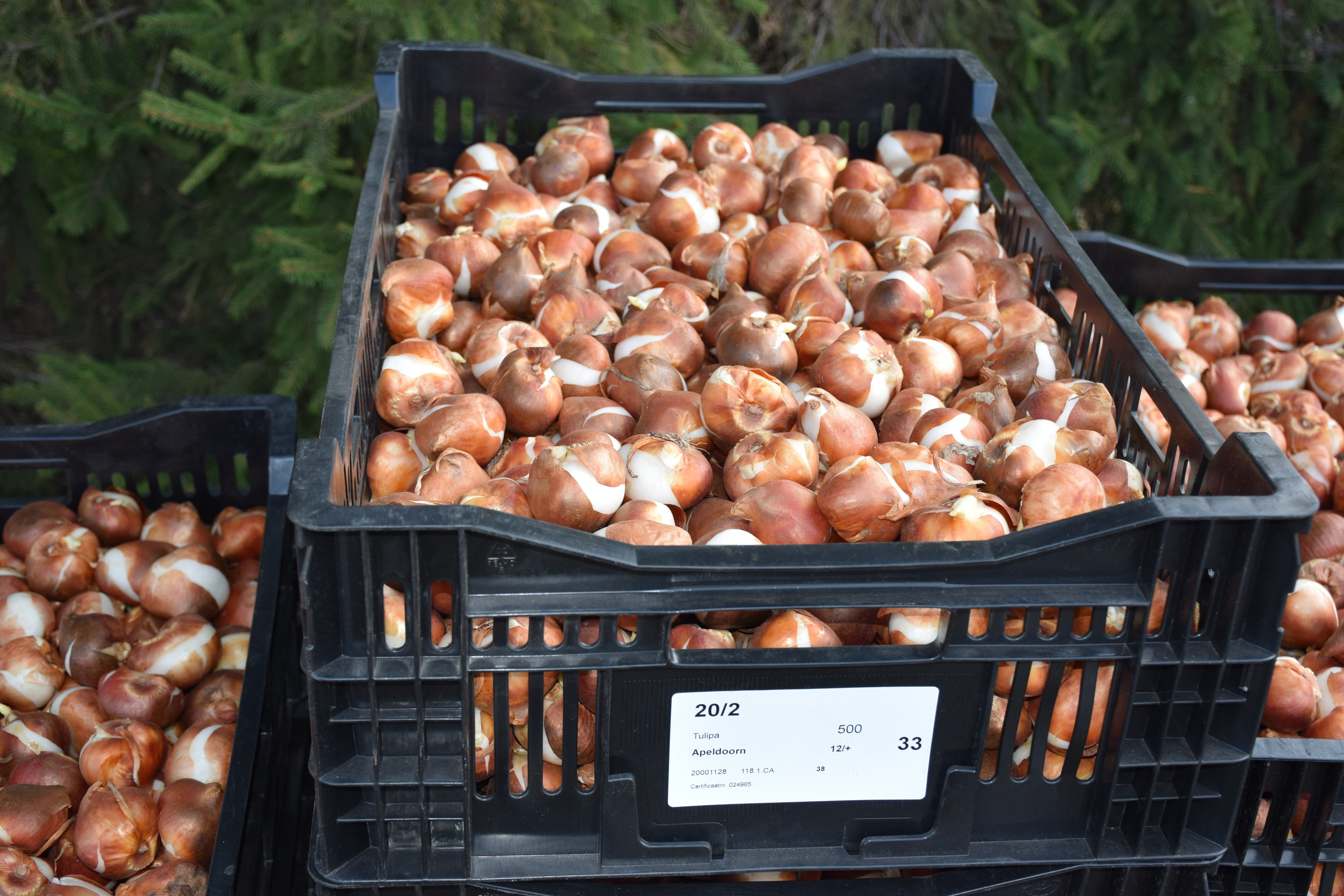 В Тамбове высадили почти 160 тысяч голландских тюльпанов