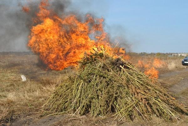 В Тамбовской области полицейские уничтожили 3 гектара дикой конопли