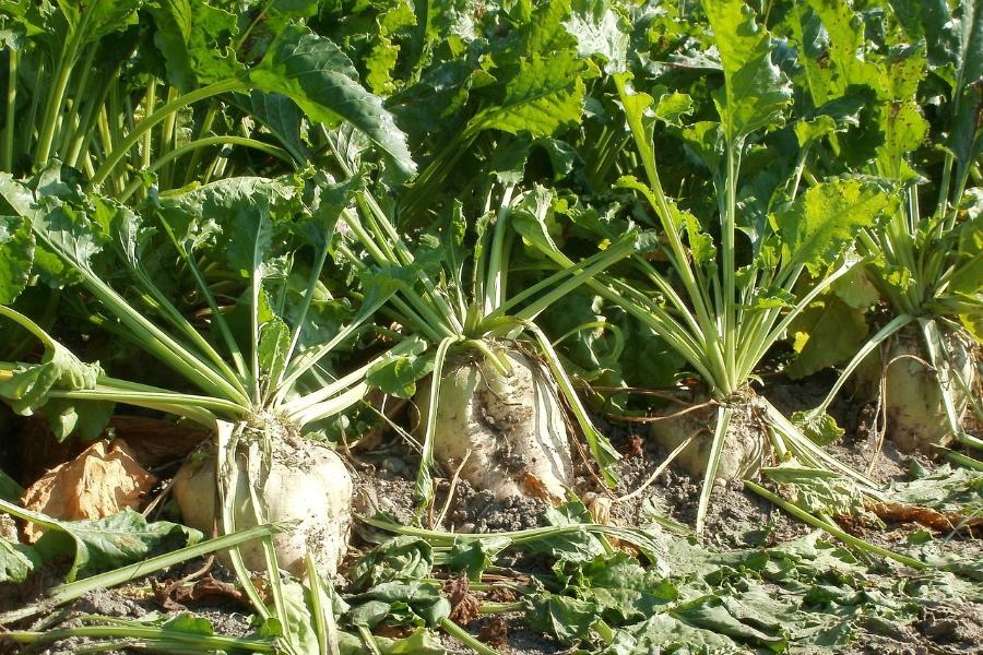 В Тамбовской области с поля украли более двух тонн сахарной свёклы