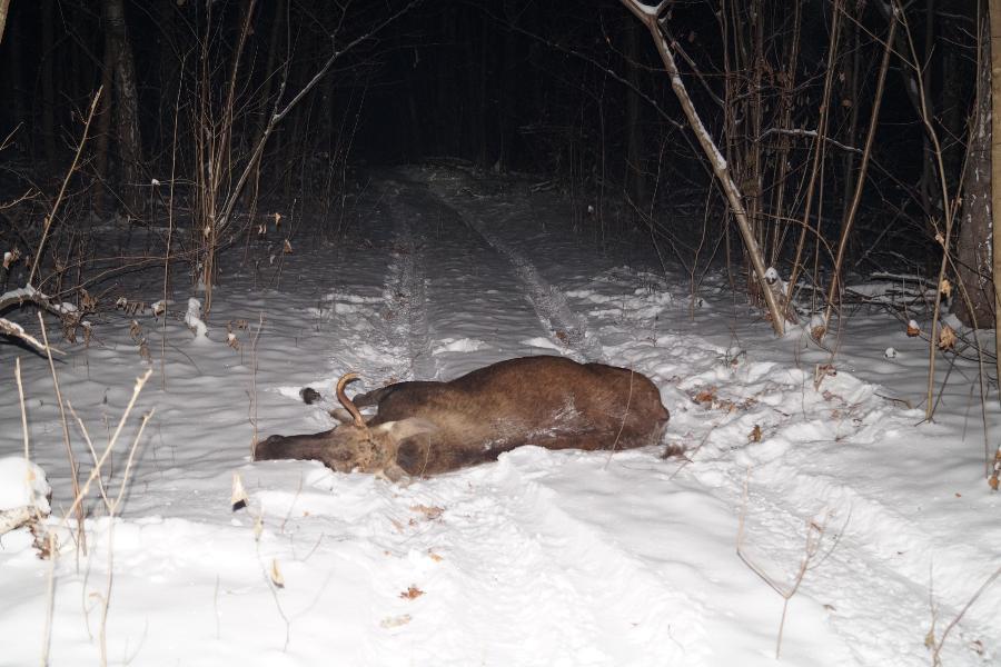 В Моршанском районе браконьеры застрелили лося