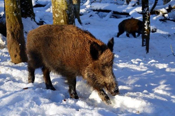 В Тамбовской области объявлена охота на кабанов