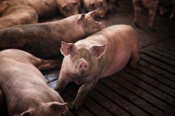 В Бондарском районе установлен карантин по африканской чуме свиней