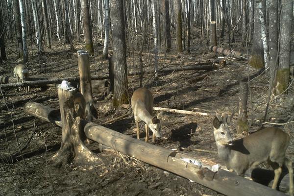 В лесах Тамбовской области стало больше лосей, косуль и кабанов
