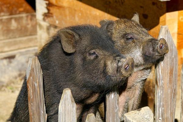 В Тамбовской области из-за АЧС начали отчуждение свиней у населения