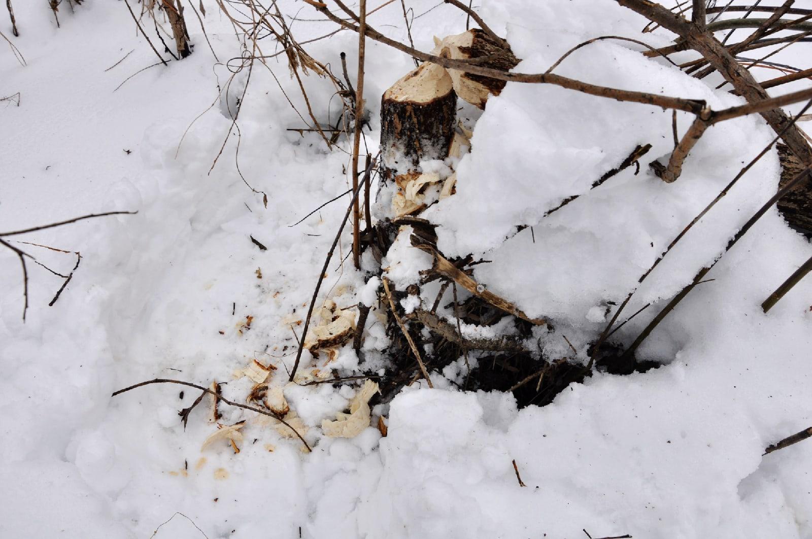 В воронинском заповеднике посчитали количество бобров