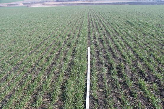 Комплексная обработка семян поможет сохранить урожай зерновых