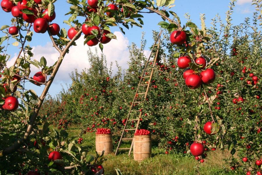 Тамбовские садоводы начали формирующую обрезку плодовых деревьев