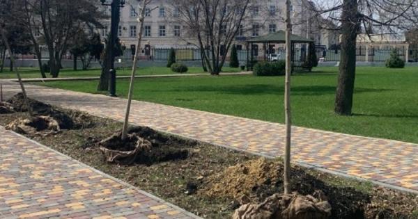 Впарке культуры иотдыха Тамбова высадили аллею кленов