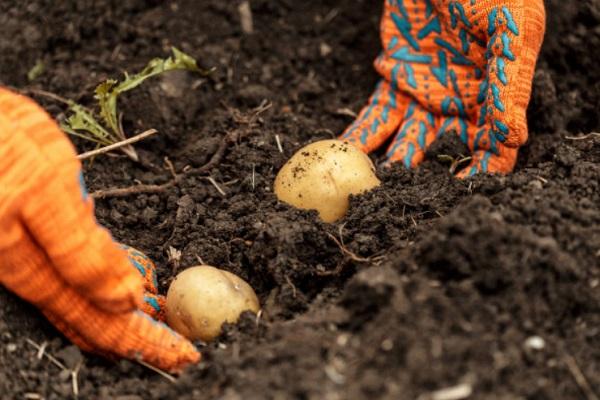 Синоптик рассказал, когда лучше сажать картошку