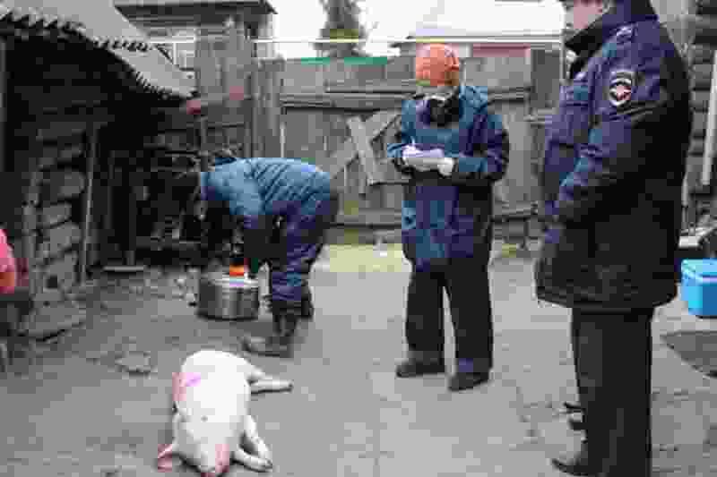 В Никифоровском районе из-за африканской чумы изымают свиней