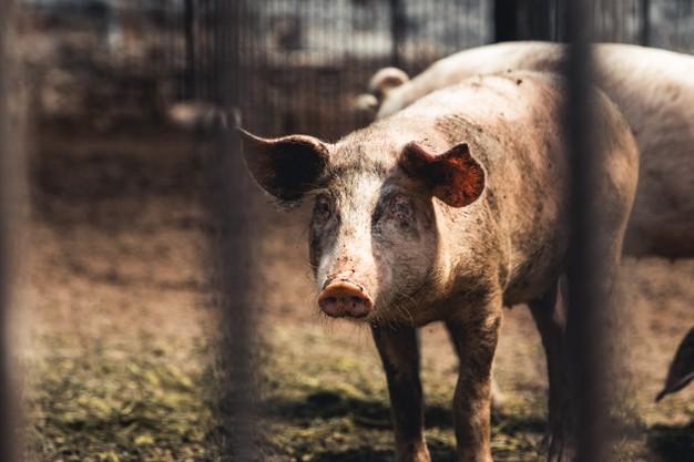 В Тамбовской области объявлен карантин по африканской чуме свиней
